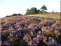 TQ4631 : Heather on Ashdown Forest by Marathon