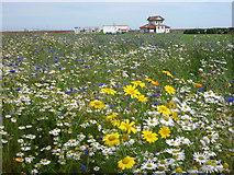 NT6779 : Coastal East Lothian : Wildflower Meadow at Winterfield Park, Dunbar by Richard West