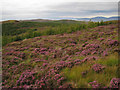 NG3649 : Heather and forest by Richard Dorrell