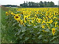 TF2217 : Sunflowers on Littleworth Drove by Richard Humphrey