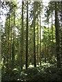 SY2197 : Plantation, Foxenholes Copse by Derek Harper