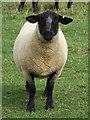 TM1761 : A Suffolk Sheep by Keith Evans