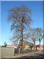 TF4208 : Horse chestnut tree on Station Road, Wisbech St Mary by Richard Humphrey