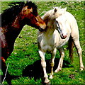 Q8558 : Loop Head Peninsula - Two Horses Communicating with Each Other by Suzanne Mischyshyn