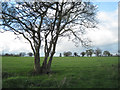 SP2086 : Remnant hawthorn tree from a hedgerow by Robin Stott