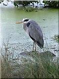 TQ1873 : Heron at Bishop's Lodge Pond, Richmond Park by Stefan Czapski
