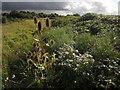 SX9066 : Teasels, daisies and brambles, Barton tip by Derek Harper