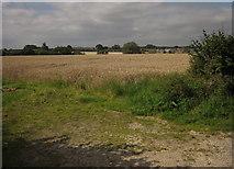 SJ8931 : Wheat by Pirehill Lane by Derek Harper