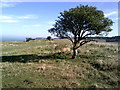 SP9514 : Isolated tree on Pitstone Hill, Buckinghamshire by Peter S