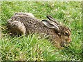 NT9715 : Brown hare south-west of Hartside by Andrew Curtis