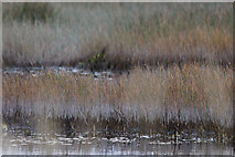 HP6312 : Tidelines on dying sedges at Haroldswick pool by Mike Pennington