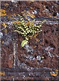 TQ1773 : Fern growing on a wall at Ham House by Stefan Czapski