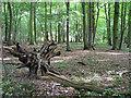TL8062 : Tree stump in Dairy Wood by Bob Jones
