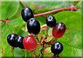 J3268 : Tutsan berries, Minnowburn, Belfast (2) by Albert Bridge
