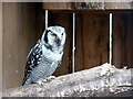 SO2954 : Northern Hawk Owl at Small Breeds Farm and Owl Centre, Kington, Herefordshire by Christine Matthews