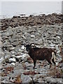 NS0631 : Dark brown soay sheep on Holy Isles rocky shore by Brian Robertson