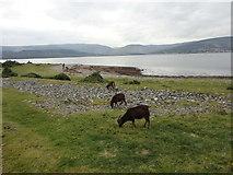 NS0531 : Dark brown soay sheep on Holy Isle shore by Brian Robertson
