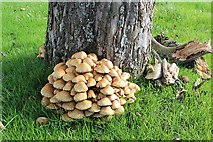 SO6632 : Shaggy Pholiota fungus, Awnell's Farm, Much Marcle by Bob Embleton