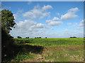 TM1898 : Sugar beet crop by Flordon Hall by Evelyn Simak