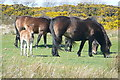 SS8236 : Exmoor ponies by Graham Horn