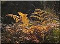 TQ2272 : Bracken fronds, Wimbledon Common by Derek Harper