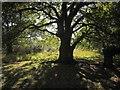 TQ2272 : Tree on Wimbledon Common by Derek Harper