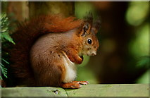TQ3643 : Frightened Squirrel by Peter Trimming