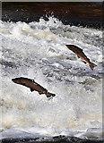 NT4427 : Jumping salmon at Murray's Cauld, Philiphaugh by Walter Baxter