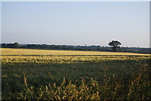 TG1408 : A large field of wheat by N Chadwick