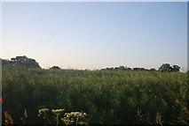 TG1508 : Oilseed rape, gone to seed by N Chadwick
