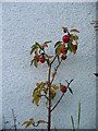 NG8033 : Apple tree by Dave Fergusson