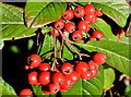 J3675 : Cotoneaster berries, Belfast by Albert Bridge