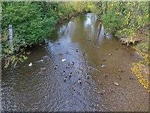 SP0957 : River Arrow from Gunning's Bridge with ducks by David P Howard