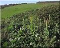 SY1888 : Great Mullein above Littlecombe Shoot by Derek Harper