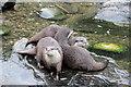 TQ2276 :  Asian Otters, London Wetland Centre, Barnes, London by Christine Matthews