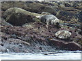 NA6946 : Flannan Isles: seals at Roaiream by Chris Downer