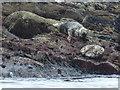 NA6946 : Flannan Isles: seals at Roaiream by Chris Downer