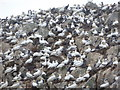 NA6946 : Flannan Isles: a multitude of gannets by Chris Downer