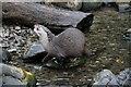 TQ2276 : Asian Otter, London Wetland Centre, Barnes, London by Christine Matthews