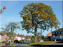 SO9096 : The Buckingham Road oak in Penn, Wolverhampton by Roger  Kidd
