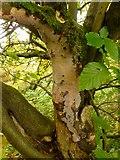 NS3983 : A fungus (Vuilleminia comedens) by Lairich Rig