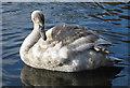 TA0389 : Cygnet, Peasholm Lake by Pauline E