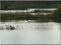 SP9314 : Several swans-a-swimming by Jackie Farrow