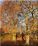 SP9314 : Autumnal beeches by Rob Farrow