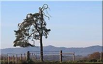 SO8843 : Scots Pine by Bob Embleton