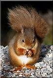 NH9818 : A red squirrel at Loch Garten Reserve by Walter Baxter