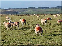 NZ0267 : Field of pregnant ewes by Oliver Dixon