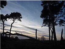 NT6378 : Coastal East Lothian : Damaged Pines At Hedderwick Point by Richard West