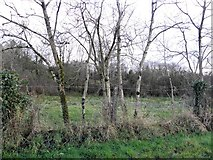 H5173 : Slender trees, Killycurragh by Kenneth  Allen