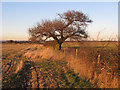 TL9404 : Winter oak in hedgerow by Roger Jones